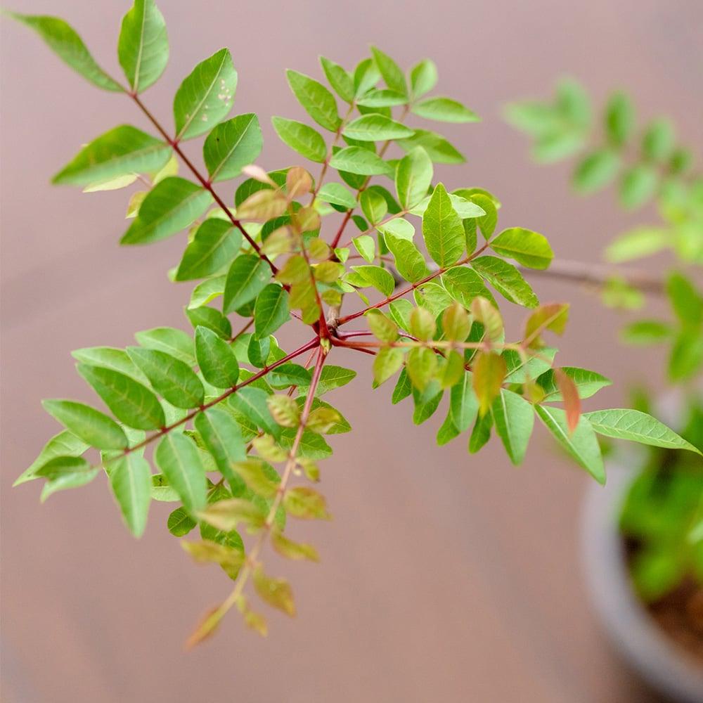 お庭 花 盆栽 かいのき 櫂の木