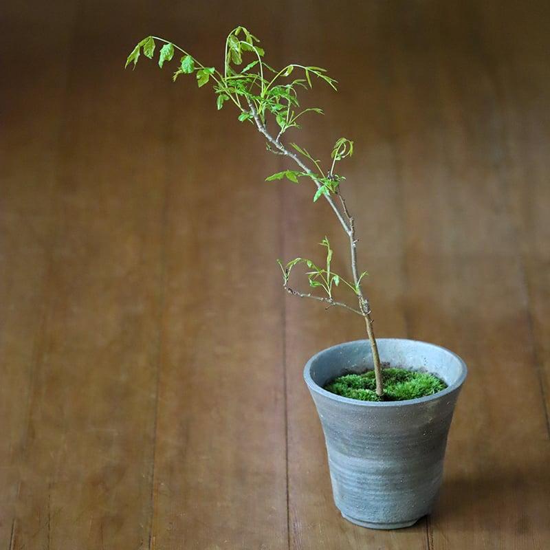 お庭 盆栽 花 かいのき 櫂の木