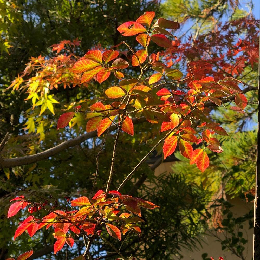 紅葉する錦木 ニシキギ
