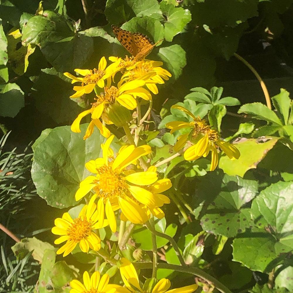 満開のツワブキ お庭づくり 蝶