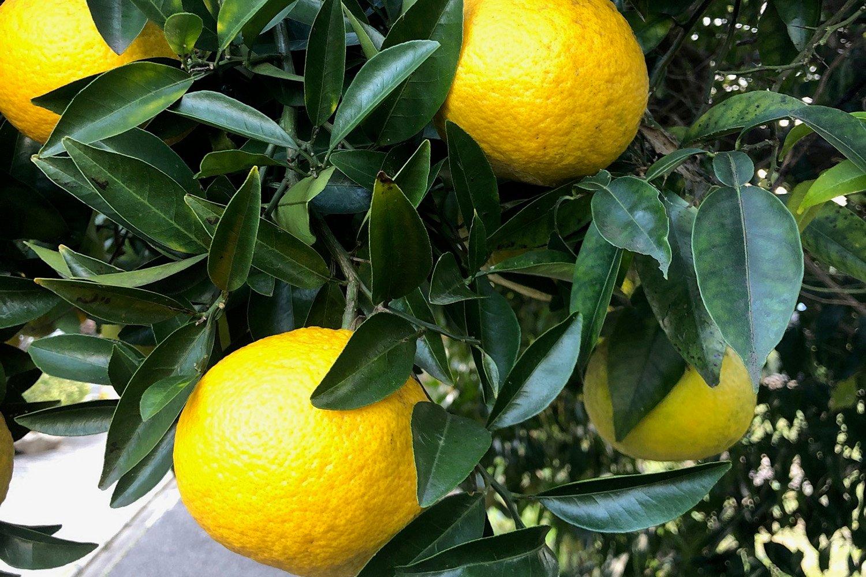 ミカン 柑橘 庭づくり