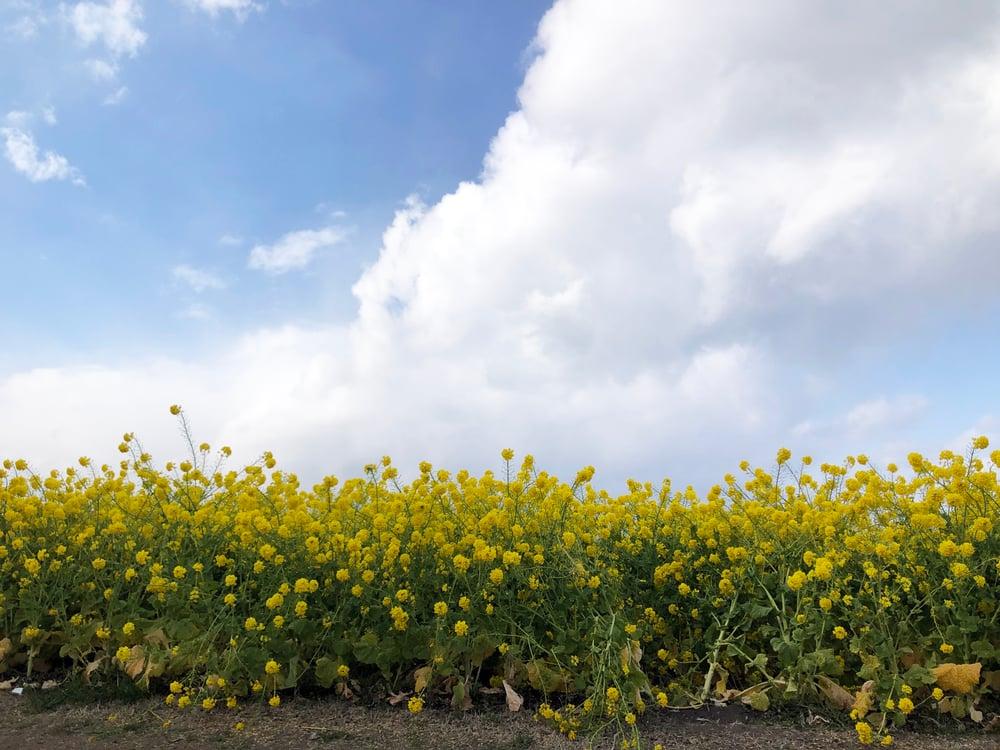 守山市 菜の花畑