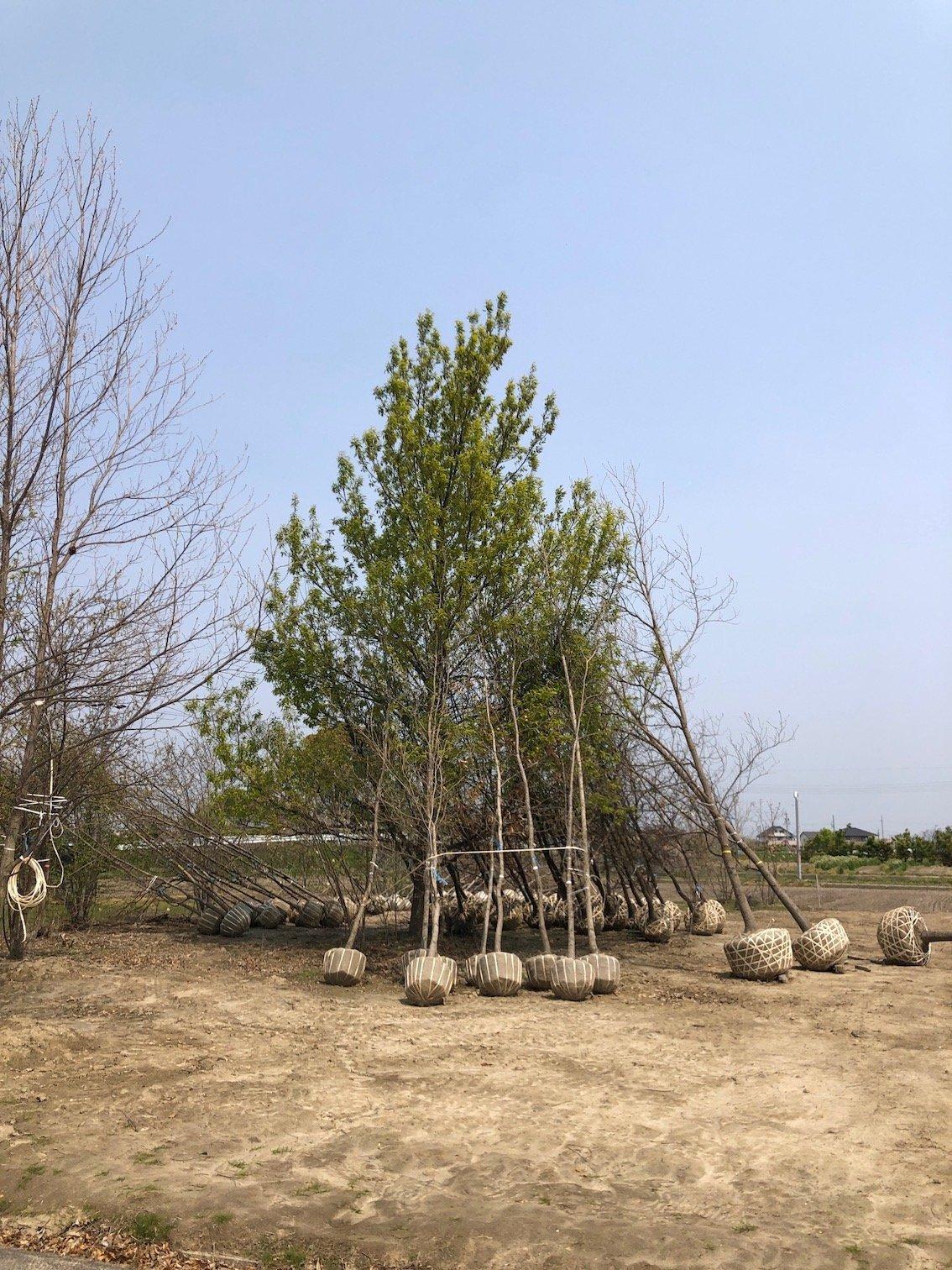クヌギ コナラ 庭づくり 植栽