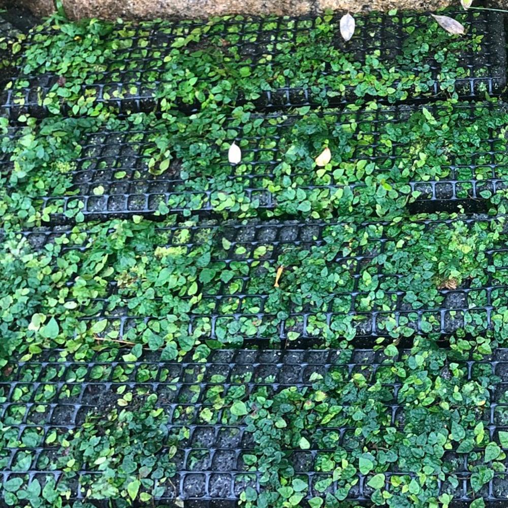 お庭づくり 壁面緑化 ヒメイタビ