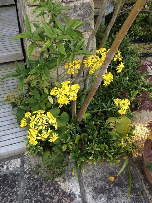 tsuwabuki_20131122.jpg