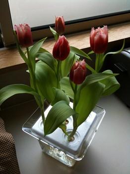 tulip_20100303.jpg