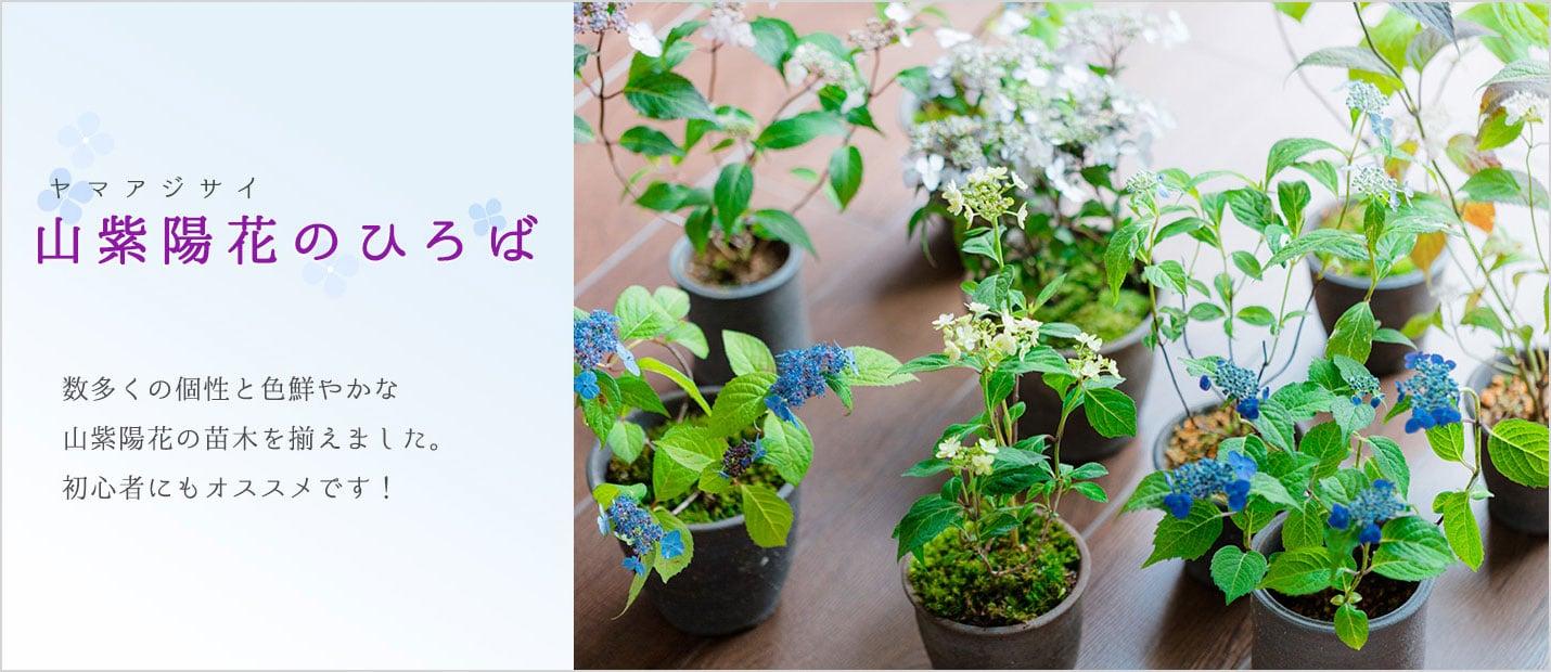 ヤマアジサイ やまあじさい 山紫陽花