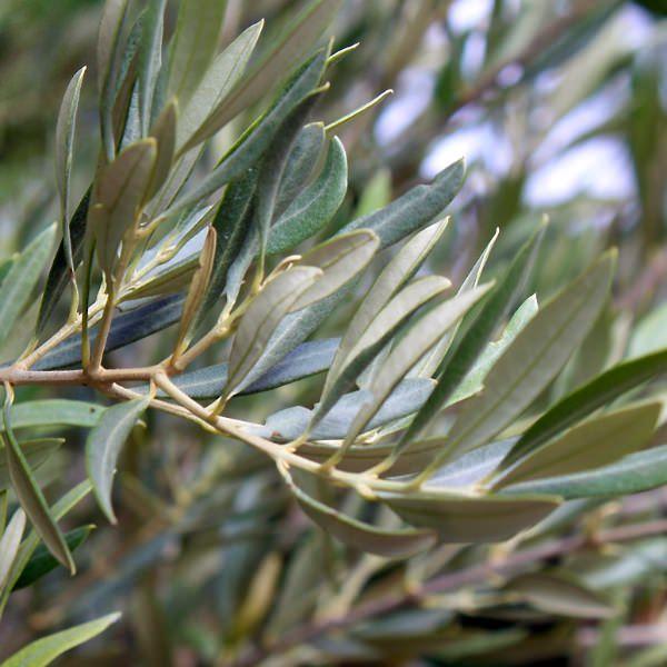 「Olea europaea」の画像検索結果