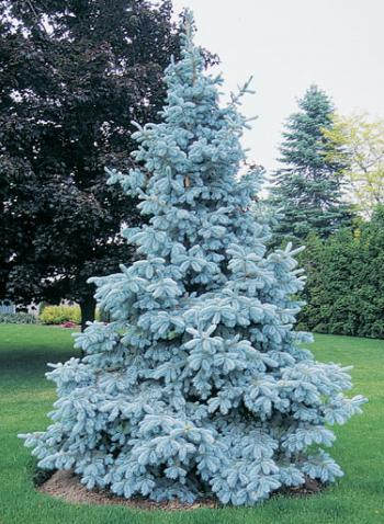 「Picea pungens」の画像検索結果
