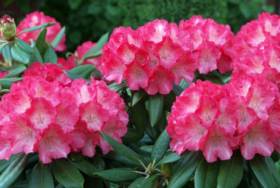 「Rhododendron」の画像検索結果