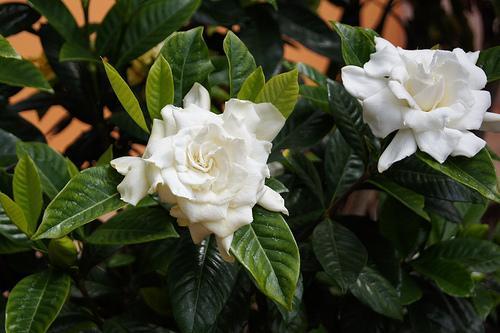 「Gardenia jasminoides」の画像検索結果