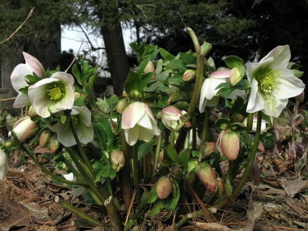 「Helleborus orientalis」の画像検索結果