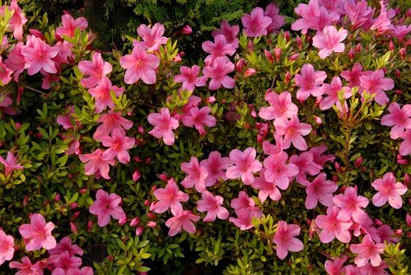 「Rhododendron indicum」の画像検索結果