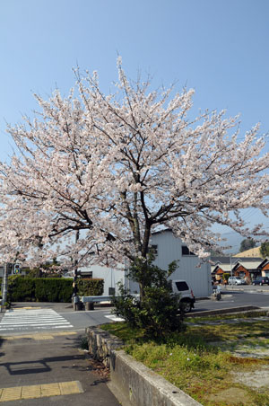 sakura_20090407.jpg