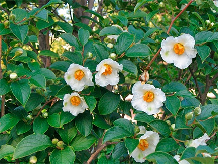「Stewartia monadelpha」の画像検索結果